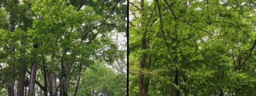 樹木(カエデ、ハルニレ)