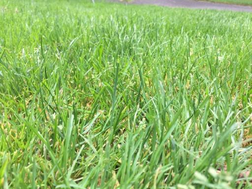 北広島市自然の森キャンプ場の芝の状態